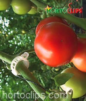 Entutorado en el cultivo de tomates